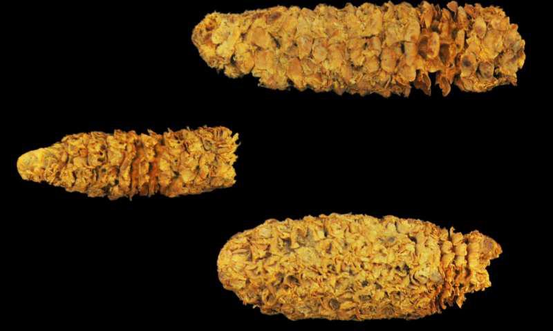来自洪都拉斯El Gigante岩石庇护所的三个大约有2,000年历史的玉米芯.png
