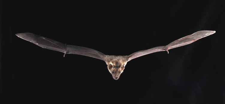 苍白的矛鼻蝙蝠(Phyllostomus变色).jpg