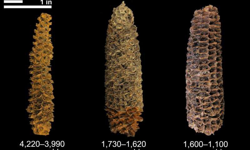 学家首次在El Gigante岩石庇护所发现了完全驯化且高产的4,300年历史的玉米残留后,一个小组进行了搜索该地点周围的考古地层,以发现其他穗轴,谷粒或其他可能产生遗传物质的物质.png