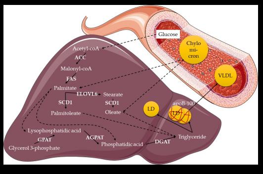 肝脏中甘油三酸酯的产生.png