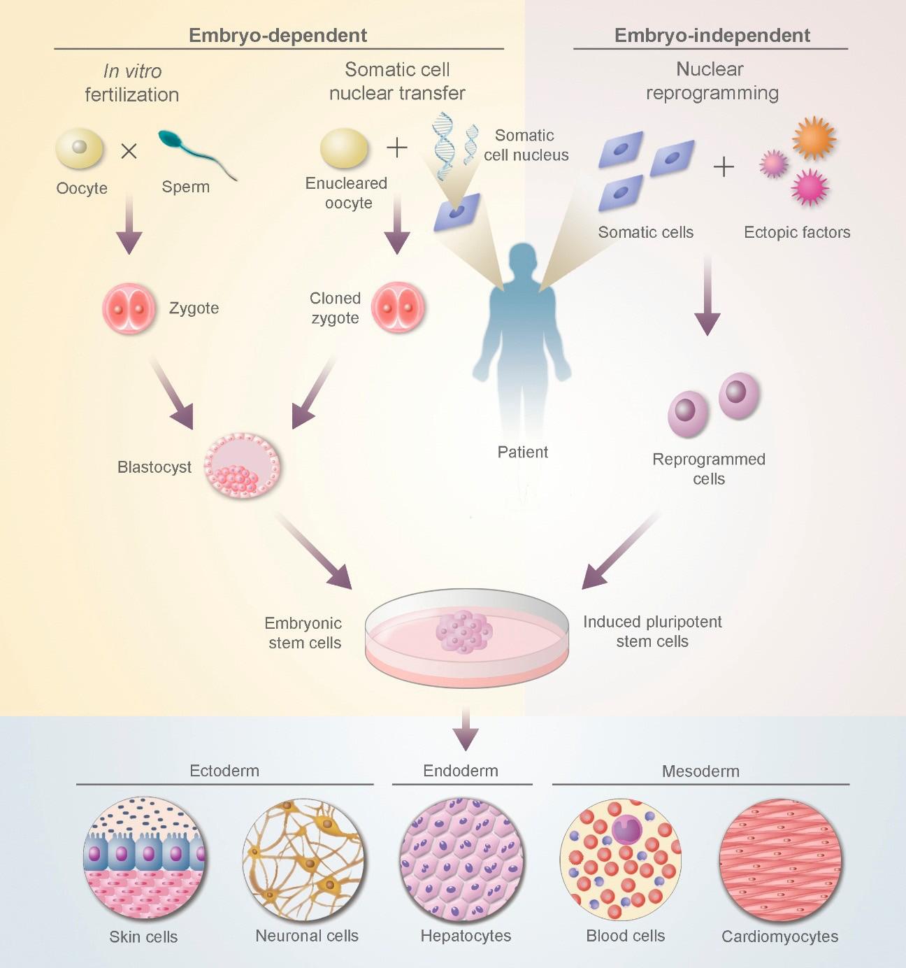 胚胎干细胞和诱导性多能干细胞的产生.png