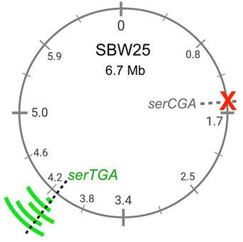 一个tRNA基因(红色X)的缺失可通过另一个tRNA基因(绿色)的复制来补偿.jpg